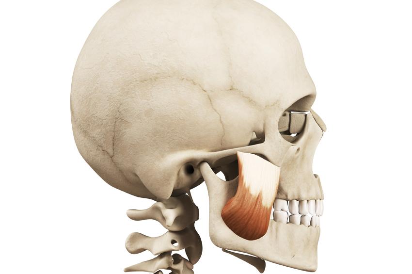 tmj muscle on skeleton